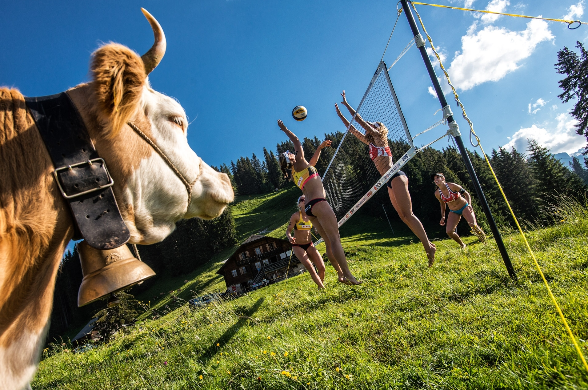 This Swiss cow keeps a close eye on this mountain-side match. Photocredit: Mihai Stetcu.